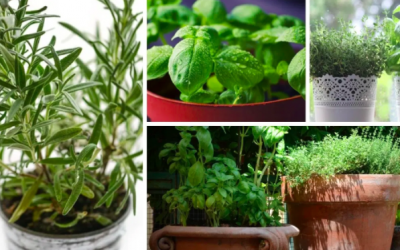 Best 9 Herbs to Grow in Pots